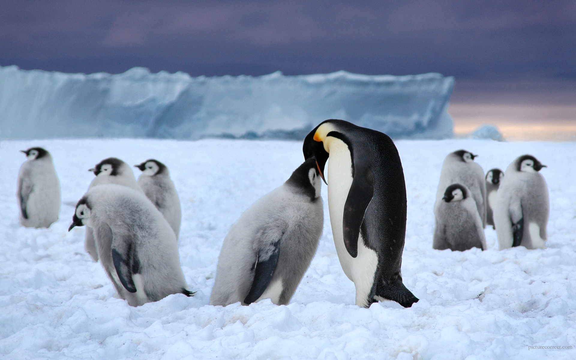 Emperor Penguin Full HD Wallpaper And Background Image