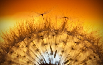 Earth - Dandelion Wallpapers and Backgrounds ID : 428505