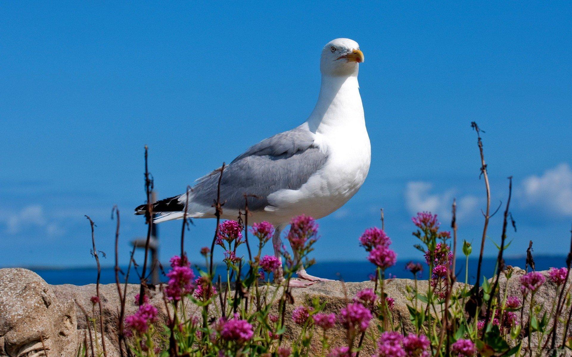 Animal - Seagull  Wallpaper