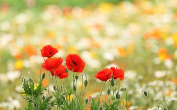 Aarde - Poppy Wallpapers and Backgrounds ID : 429253
