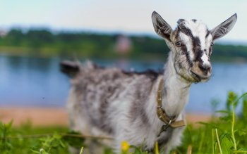 Animal - Goat Wallpapers and Backgrounds ID : 429530