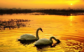 Tier - Schwan Wallpapers and Backgrounds ID : 430360