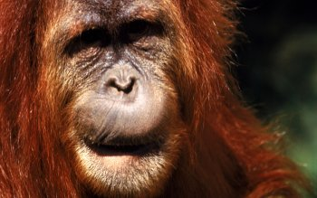 Animalia - Orangutan Wallpapers and Backgrounds ID : 430577