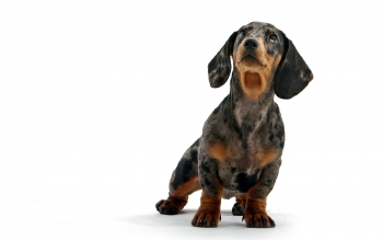 Animal - Dachshund  Wallpapers and Backgrounds ID : 430801