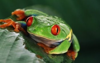 Animal - Red Eyed Tree Frog Wallpapers and Backgrounds ID : 430853