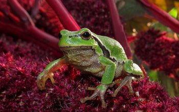 Animal - Frog Wallpapers and Backgrounds