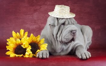 Animal - Shar Pei Wallpapers and Backgrounds ID : 434504