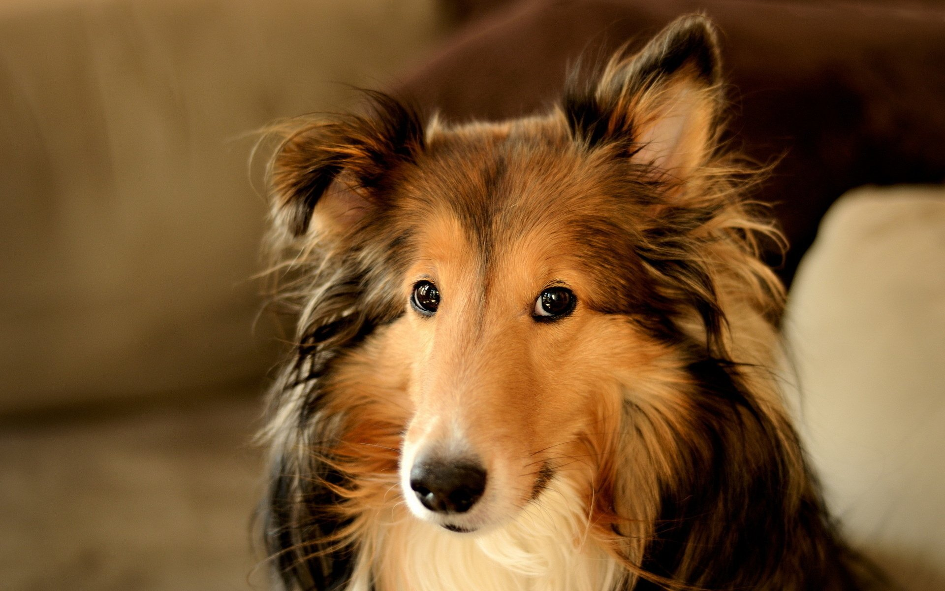 Animal - Rough Collie  Wallpaper