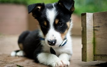 Animal - Puppy Wallpapers and Backgrounds ID : 436201
