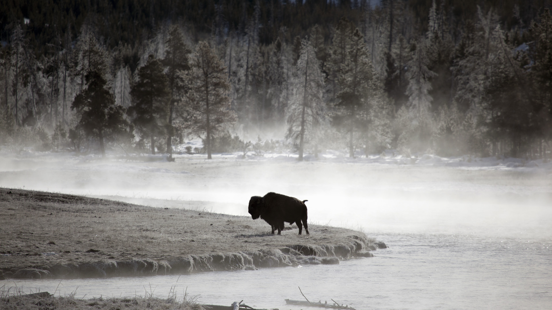 American Bison Full HD Wallpaper And Background Image