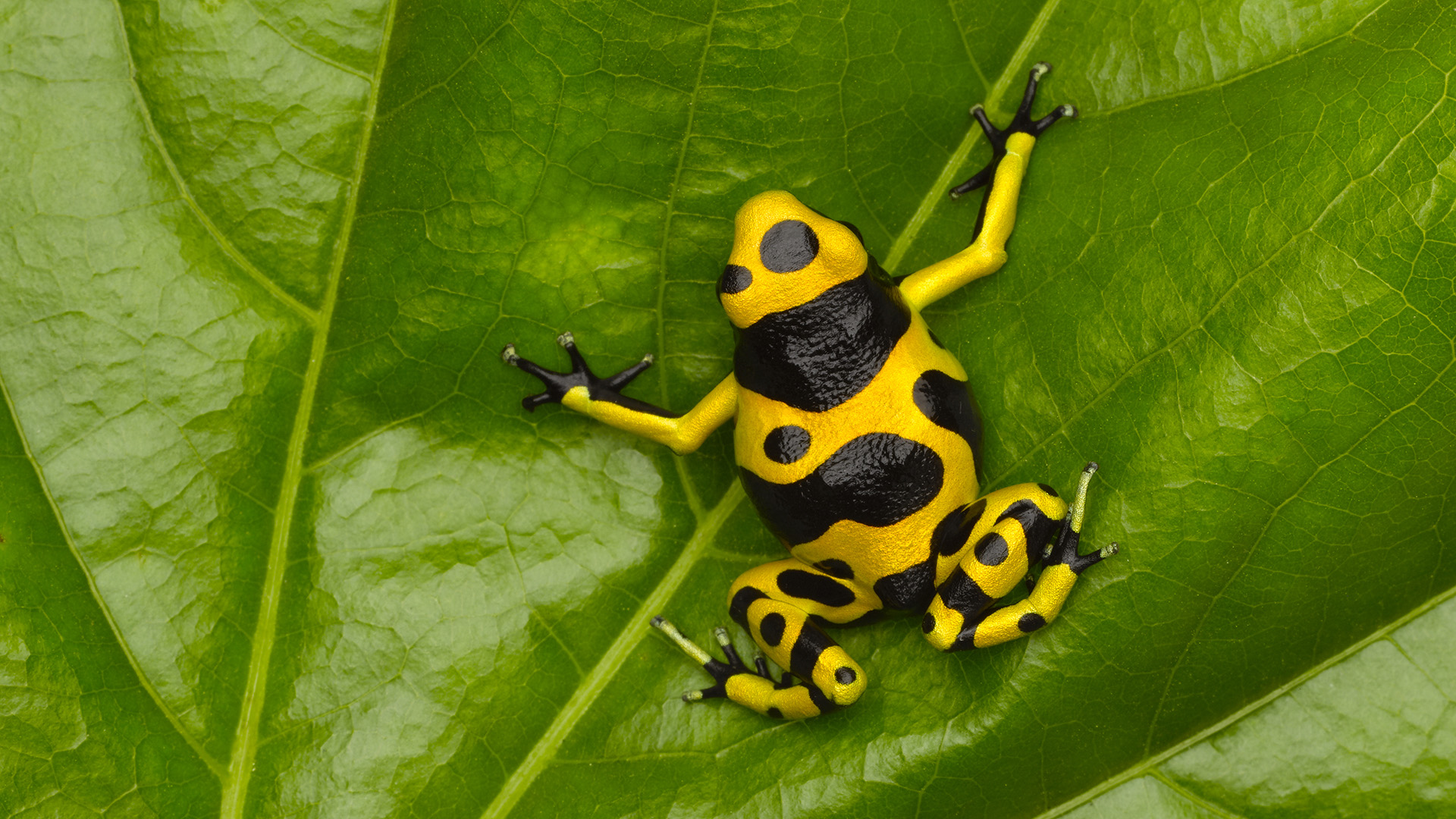 how to catch a poison dart frog