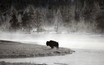 Animal - Buffalo Wallpapers and Backgrounds ID : 437431