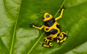 Animal - Poison Dart Frog Wallpapers and Backgrounds ID : 437676