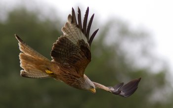 Animal - Hawk Wallpapers and Backgrounds ID : 437863
