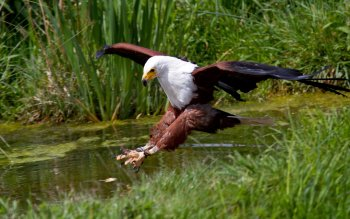 Animal - Eagle Wallpapers and Backgrounds ID : 437873