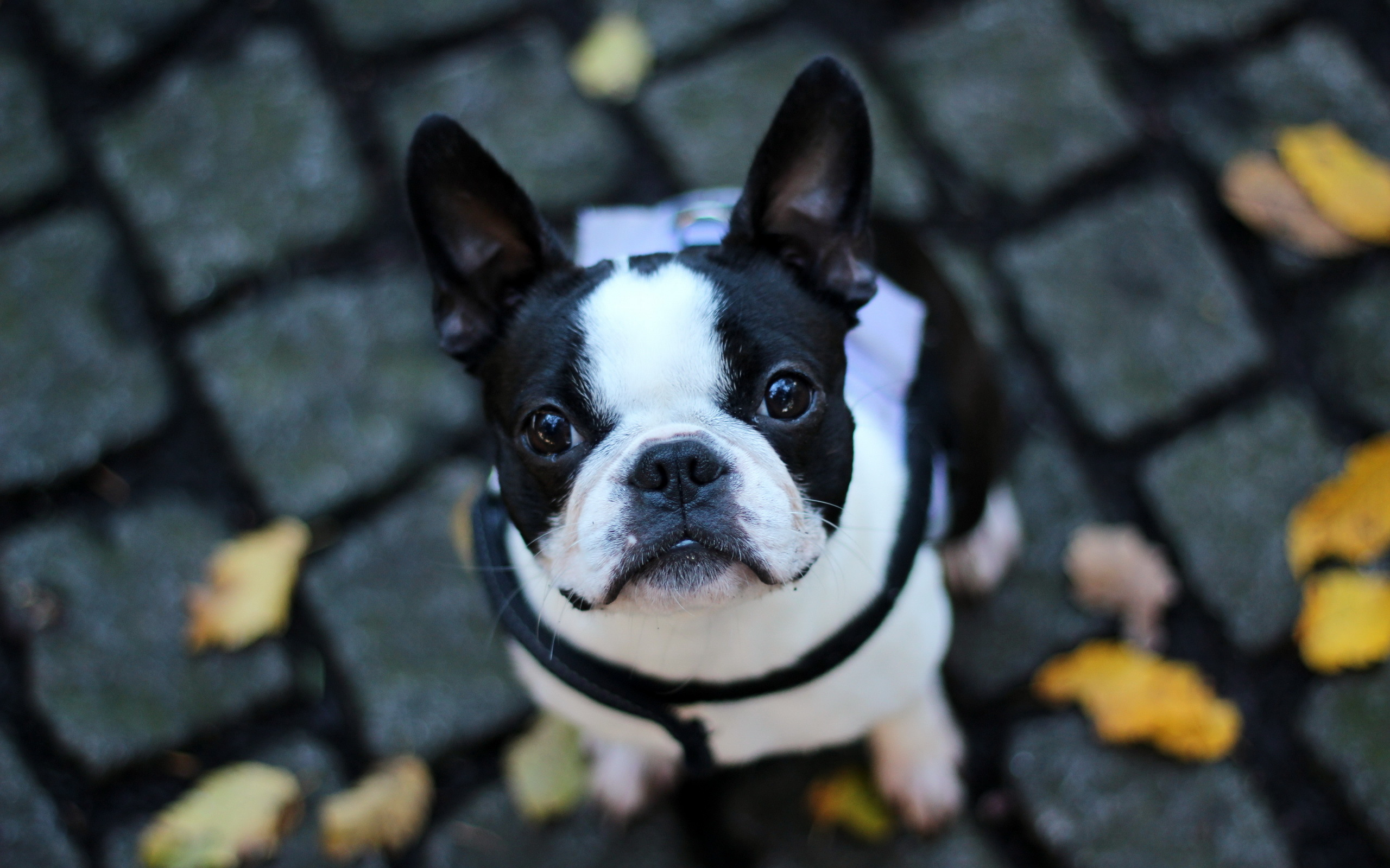 Cute french bulldog wallpaper - photo#9