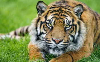 Animal - Tiger Wallpapers and Backgrounds ID : 438523