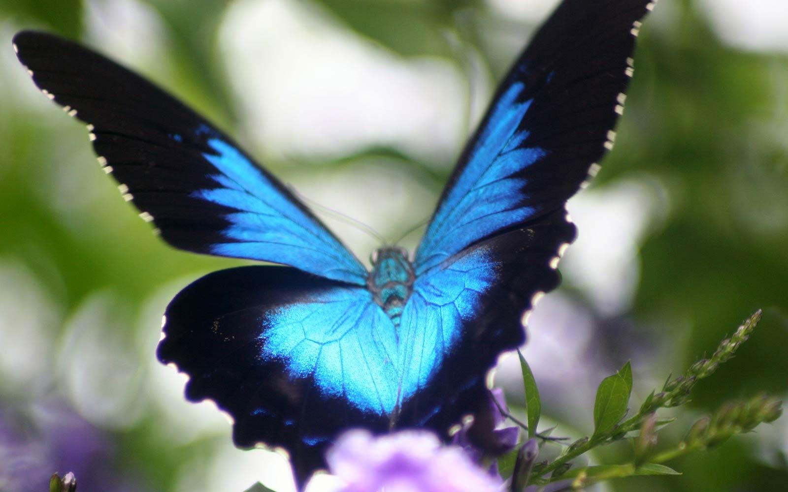 Ulysses Butterfly Animal Ulysses Butterfly