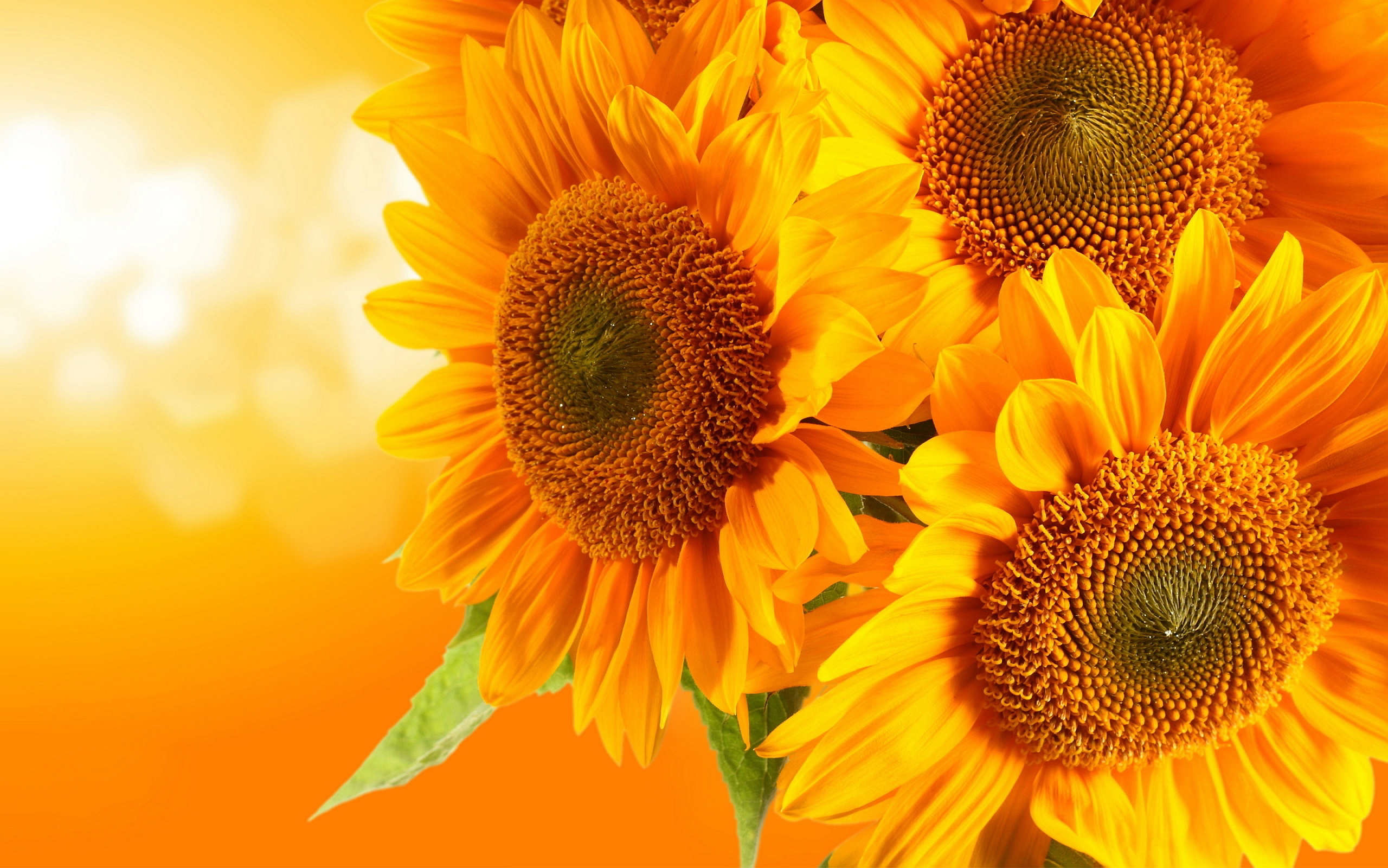 437 Sunflower HD Wallpapers