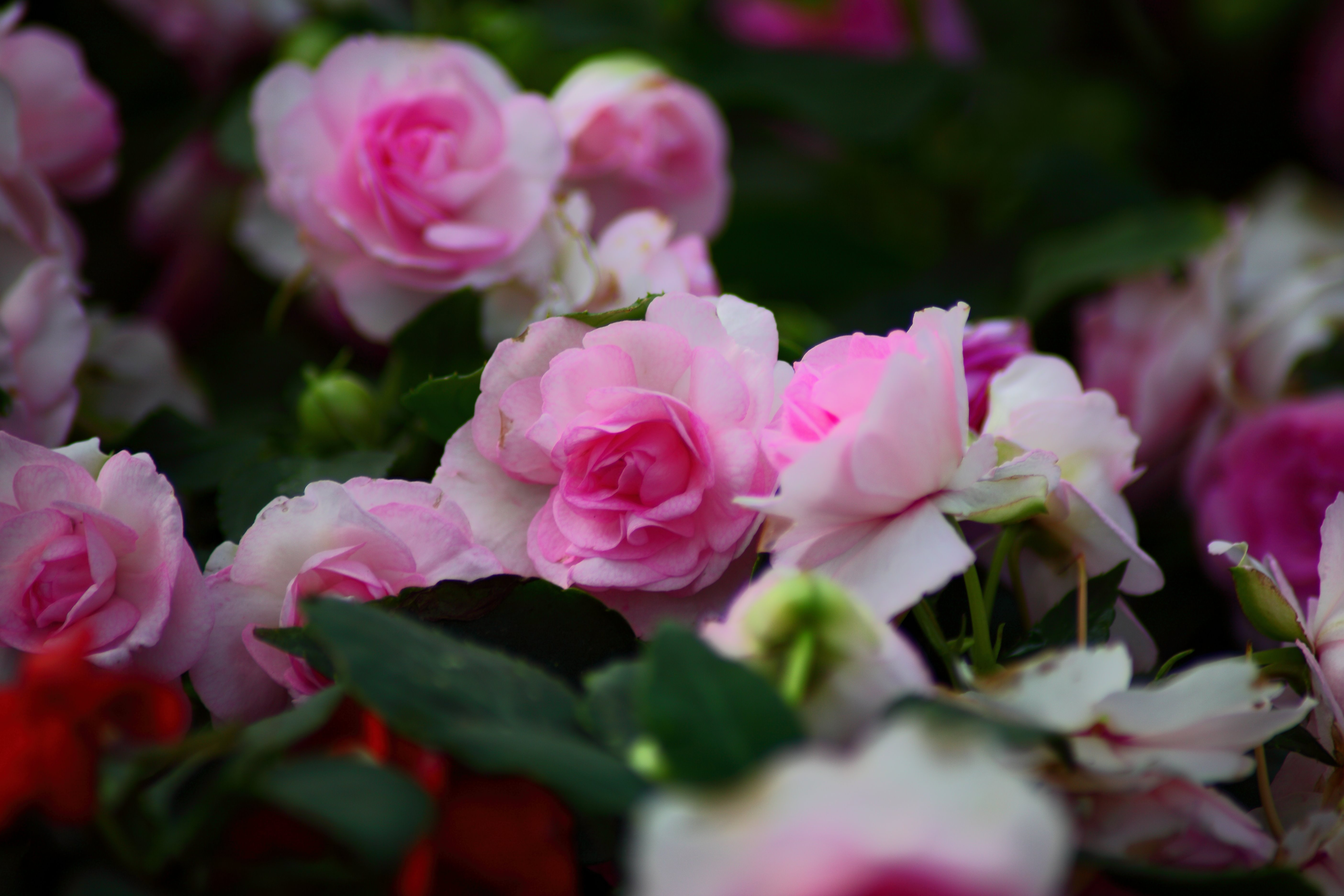 Rose Bush 5k Retina Ultra Hd Wallpaper Background Image