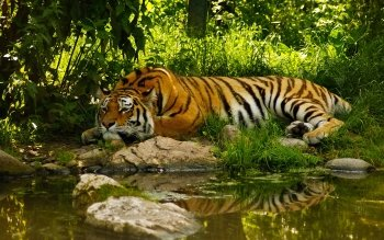 Animal - Tiger Wallpapers and Backgrounds ID : 443085