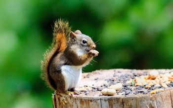 Animal - Squirrel Wallpapers and Backgrounds ID : 443176