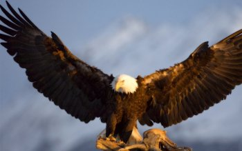 Animal - Eagle Wallpapers and Backgrounds ID : 443233