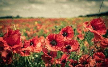 Earth - Poppy Wallpapers and Backgrounds ID : 443771
