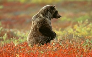 Animal - Bear Wallpapers and Backgrounds ID : 445024