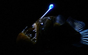 Animal - Anglerfish Wallpapers and Backgrounds ID : 447076