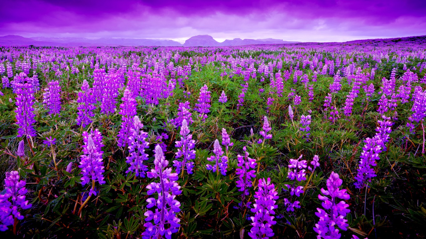 Lavender Field Computer Wallpapers Desktop Backgrounds