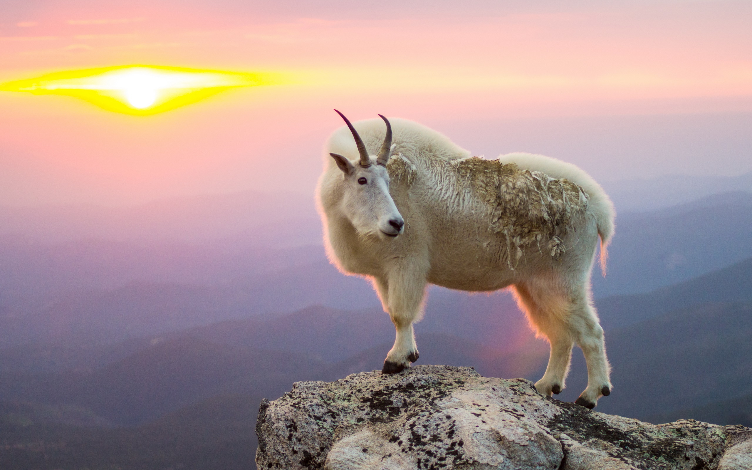 Goat full hd wallpaper and background image 2560x1600 for Animal wallpaper for walls