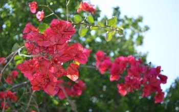 Earth - Bougainvillea Wallpapers and Backgrounds ID : 449386