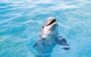 Animal - Dolphin Wallpapers and Backgrounds ID : 451290