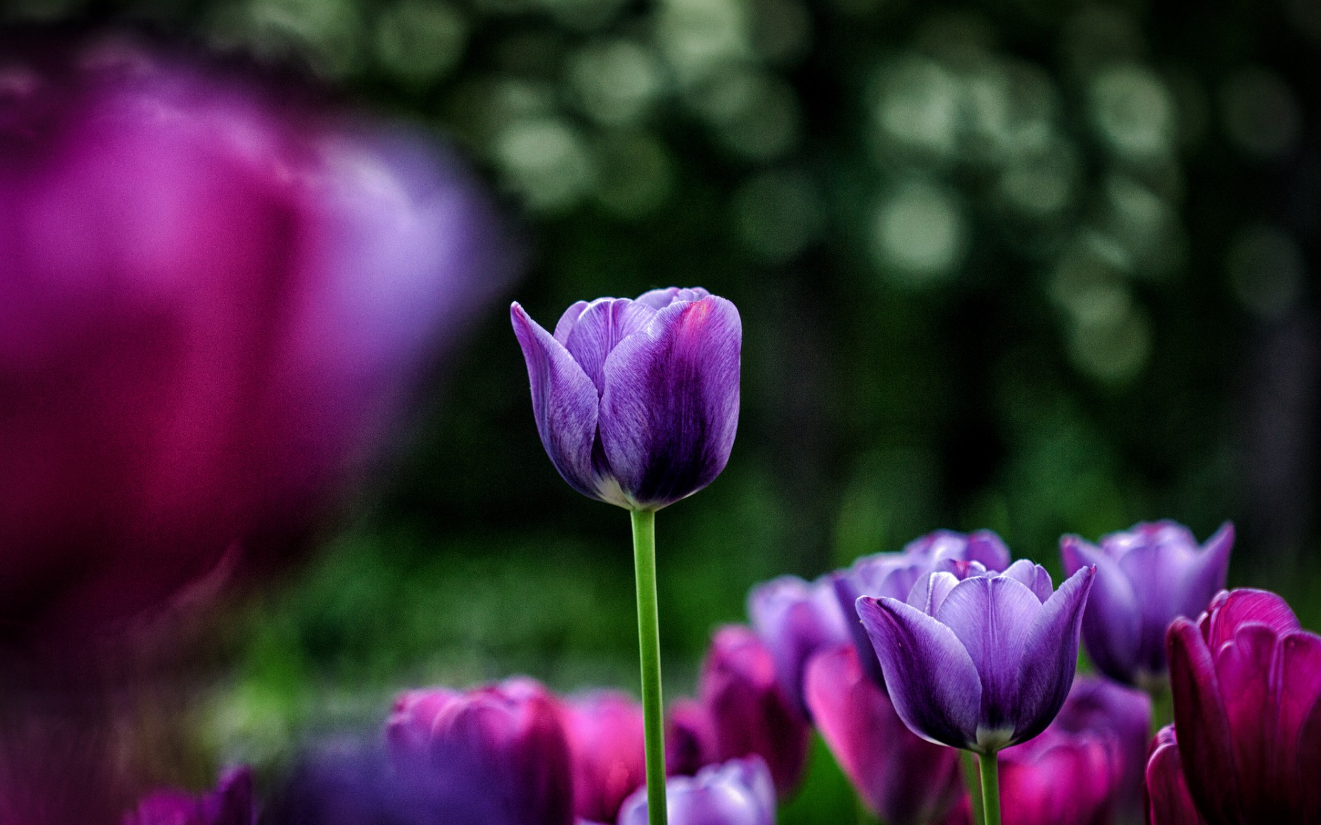Tulip HD Wallpaper