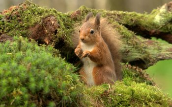 Animal - Squirrel Wallpapers and Backgrounds ID : 452275