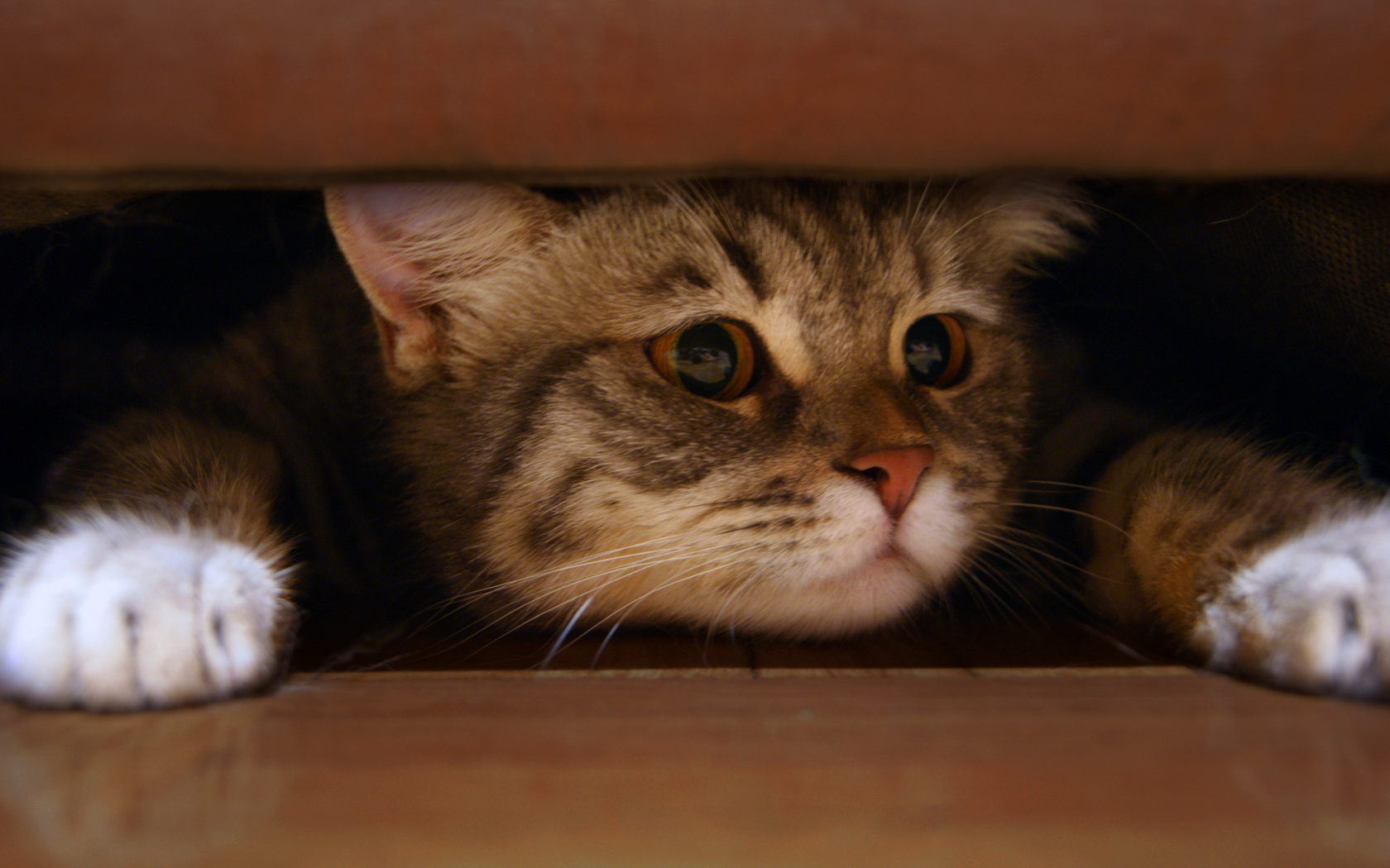 Scared cat Wallpaper and Background Image | 1680x1050 | ID ...