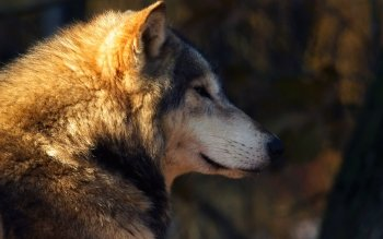 Animal - Wolf Wallpapers and Backgrounds ID : 455611