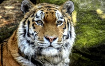 Animal - Tiger Wallpapers and Backgrounds ID : 456746