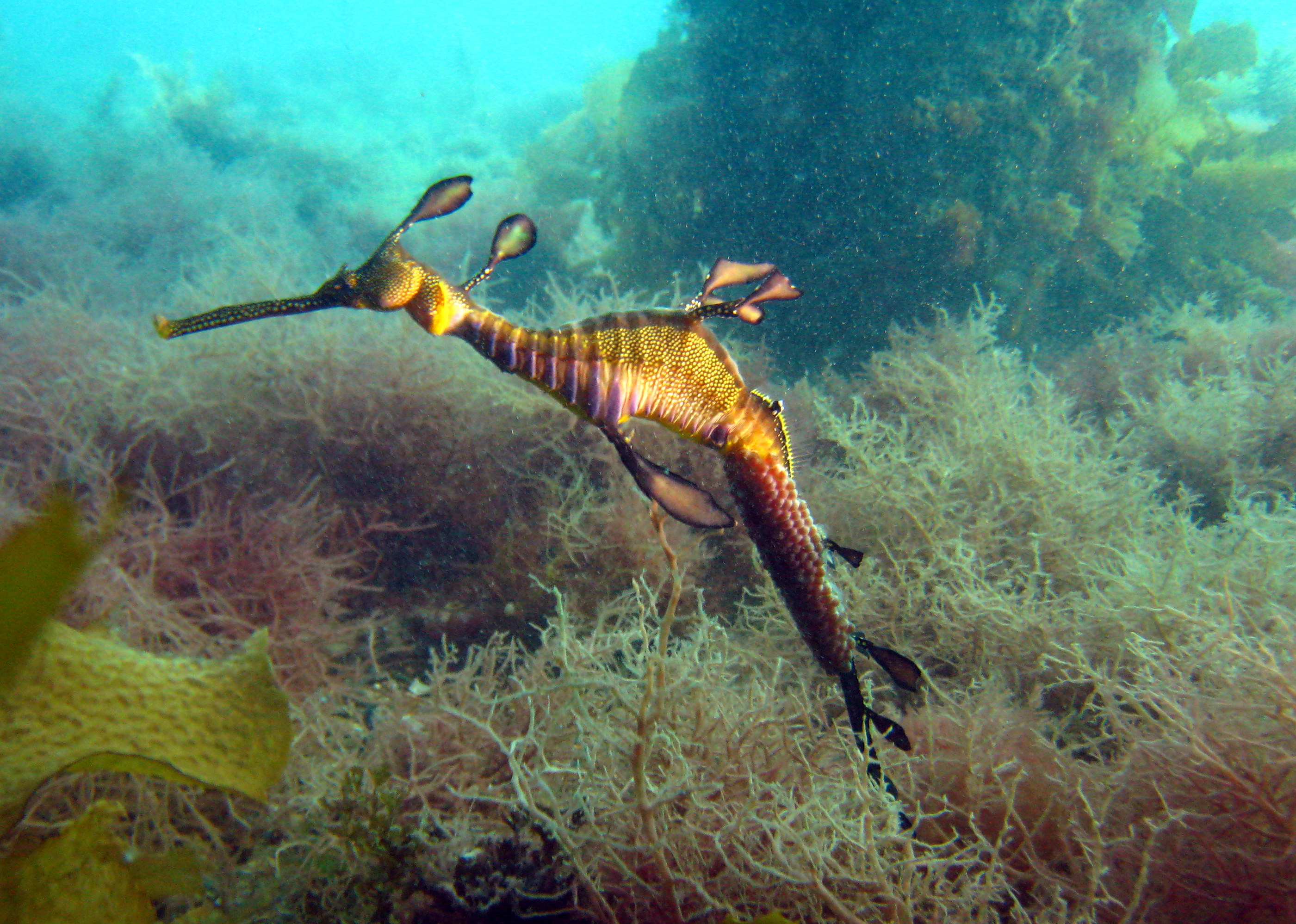 Leafy Sea Dragon Full HD Wallpaper And Background Image