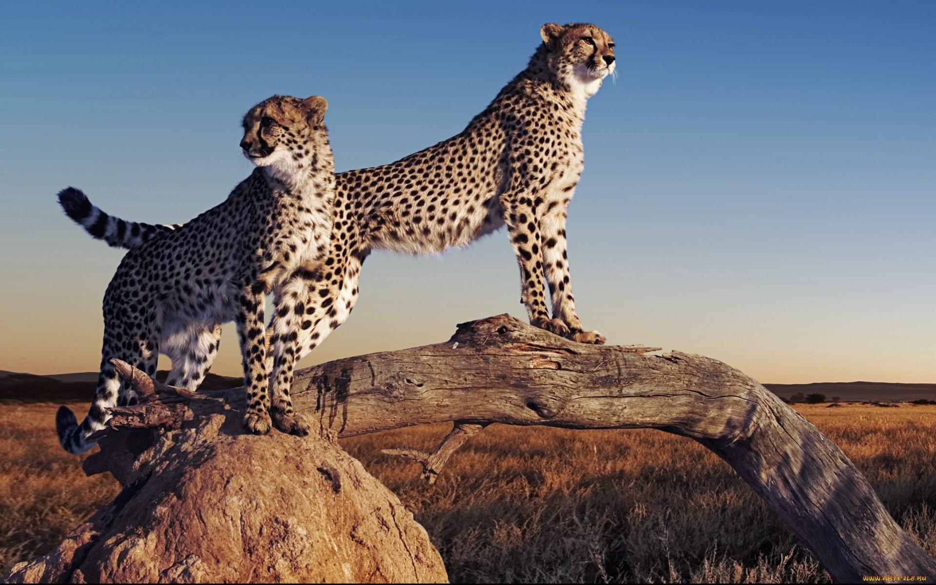 Cheetah Full HD Wallpaper and Background