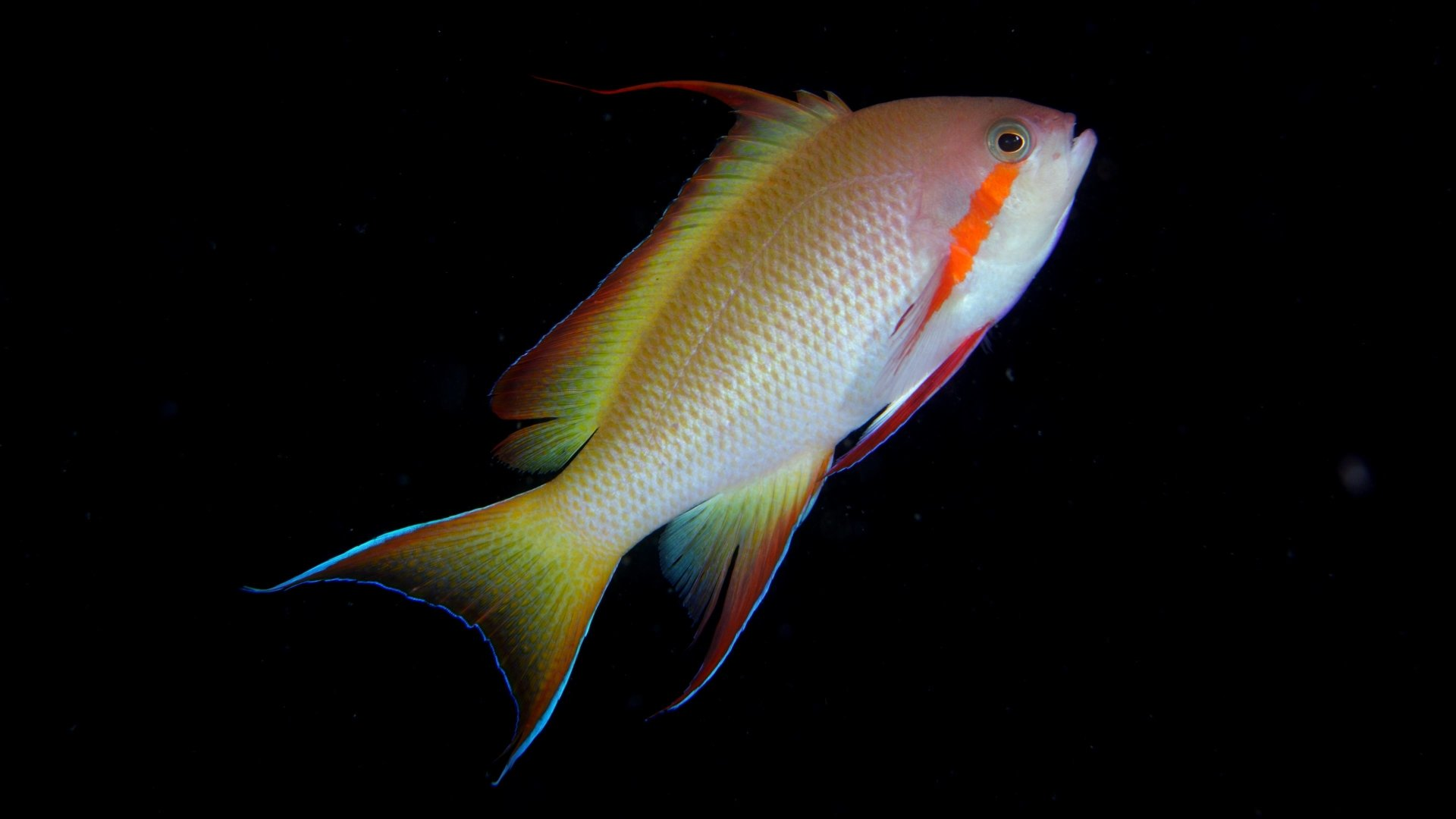 fish 4k Ultra HD Wallpaper and Background Image ...
