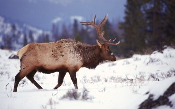 Animal - Elk Wallpapers and Backgrounds ID : 458308