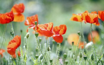 Earth - Poppy Wallpapers and Backgrounds ID : 458913