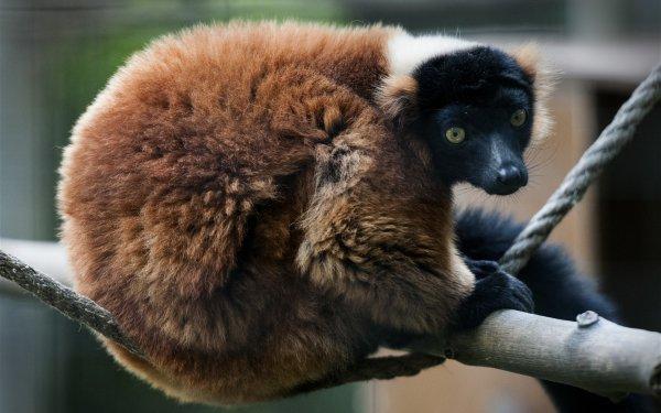 Animal Lemur Monkeys HD Wallpaper | Background Image