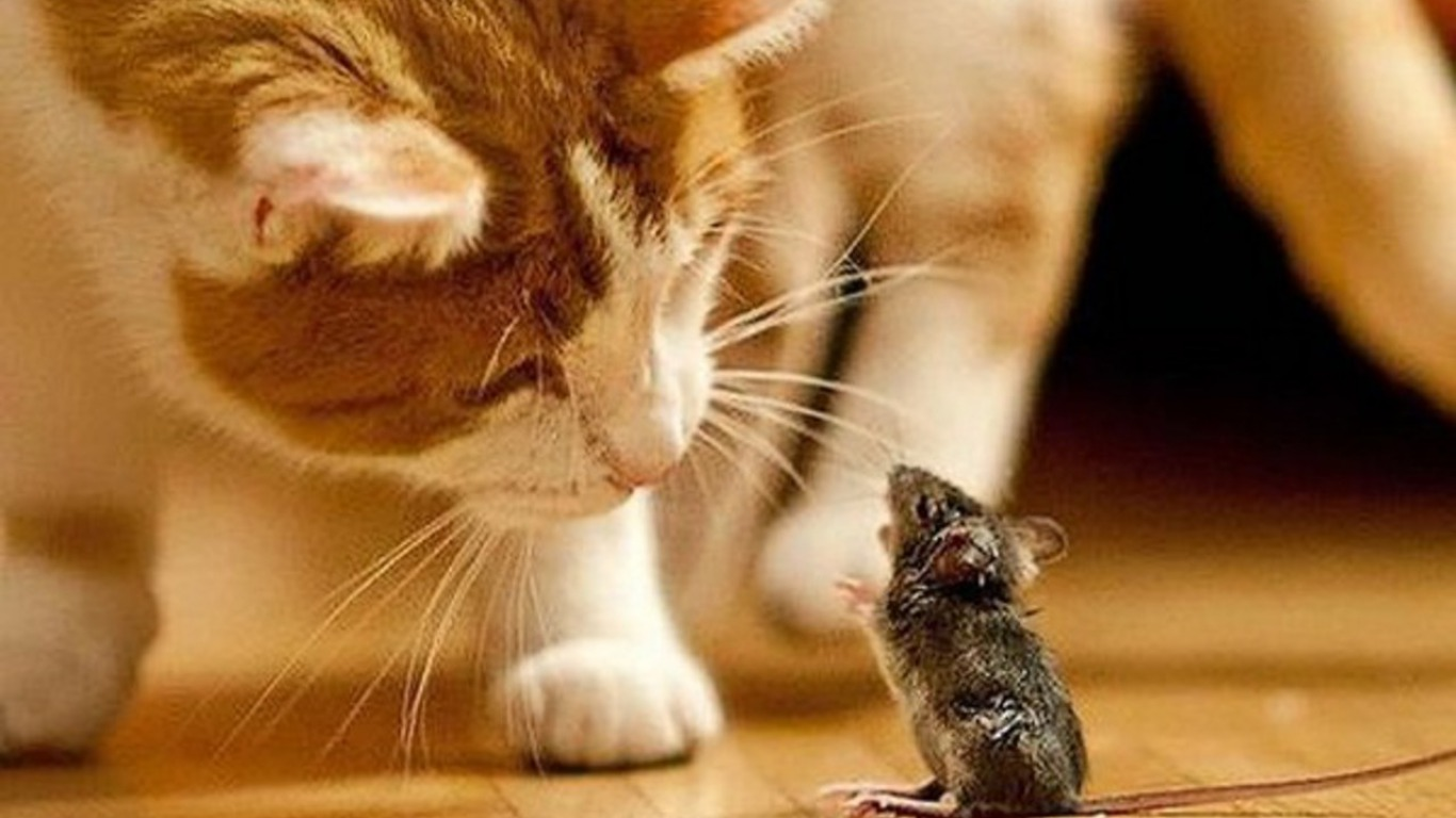 Animal - Cat  - Mouse Wallpaper