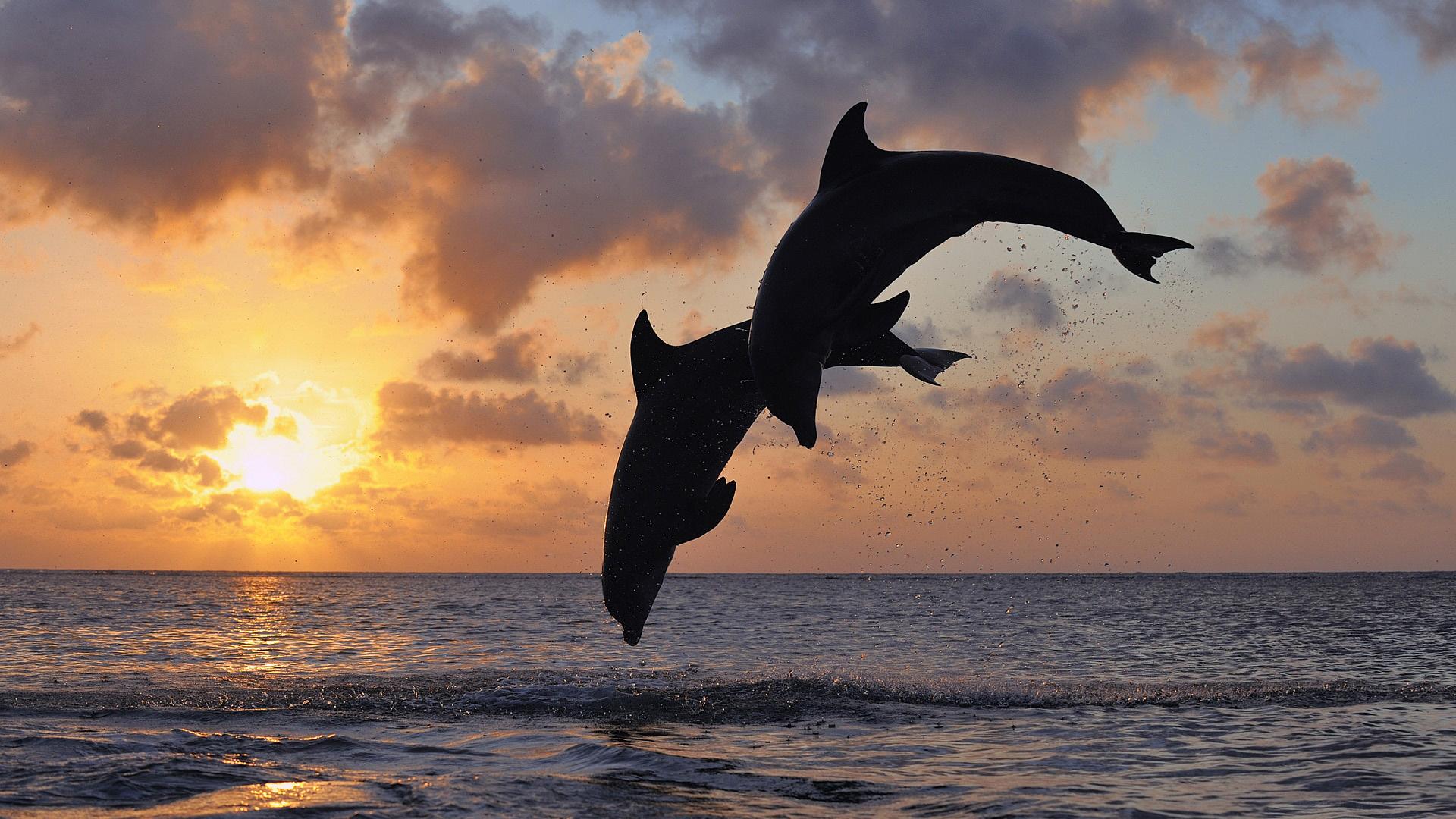 Delfin Full HD Wallpaper and Hintergrund