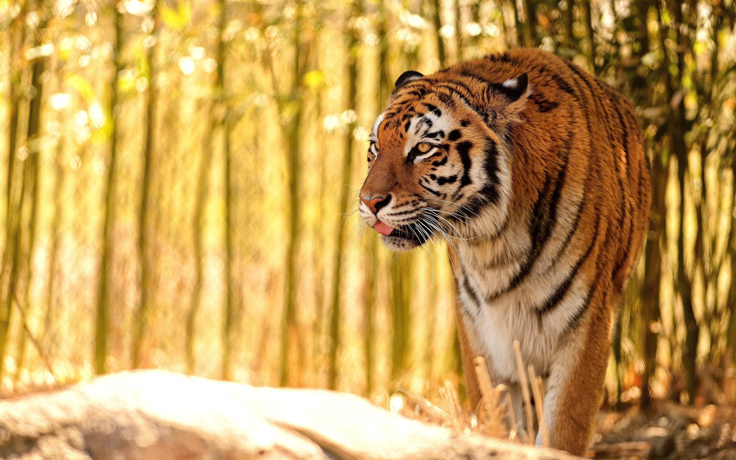 Tiger HD Wallpaper   Background Image   2560x1600   ID