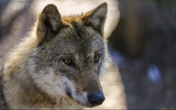 Animal - Wolf Wallpapers and Backgrounds ID : 464397