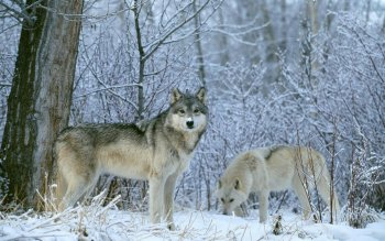 Animal - Wolf Wallpapers and Backgrounds ID : 464407